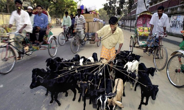 Bangladeshi man Nurul Islam (C) walks a flock of goats in Dhaka, Dec. 9, 2003. An article in Bangladesh's Daily Star on Oct. 14, 2013, looks at the tricks goat sellers use to deceptively get a higher price. (Farjana Khan/AFP/Getty Images)