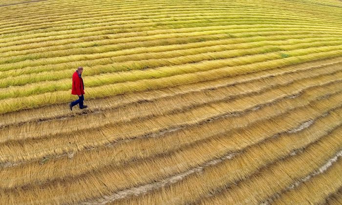 A farmer checks linen during in Hondschoote, France, on July 30, 2013. According to an Oct. 13, 2013 article by France 24, French male farmers are 20 percent more likely than the rest of the population to commit suicide. (Philippe Huguen/AFP/Getty Images)