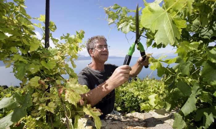 A file photo of wine producer Jean Francois Riccard working in his vineyard in Lavaux, Switzerland. An article published in The Local in October 2013 looks at the late grape harvest in Switzerland. (Keystone/Olivier Maire)