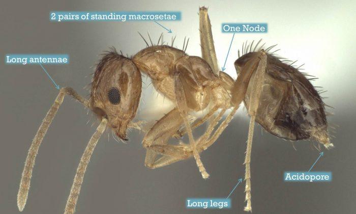 (Danny L. McDonald, Dept. of Entomology, Texas A & M)