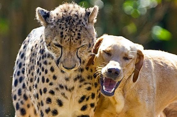 Kasi (L) and Mtani (R) have been buddies since they were a cub and puppy. See video of this cheetah-canine duo below. (Screenshot/YouTube)