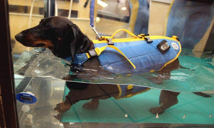 5-year-old obese dachshund walks on an aqua treadmill at El Perro aqua fitness club for dogs in Tokyo, Japan, March 17, 2007. (Koichi Kamoshida/Getty Images)