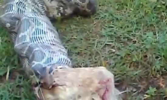 Snake Eats Dog on LiveLeak Video (Potentially Disturbing Content)