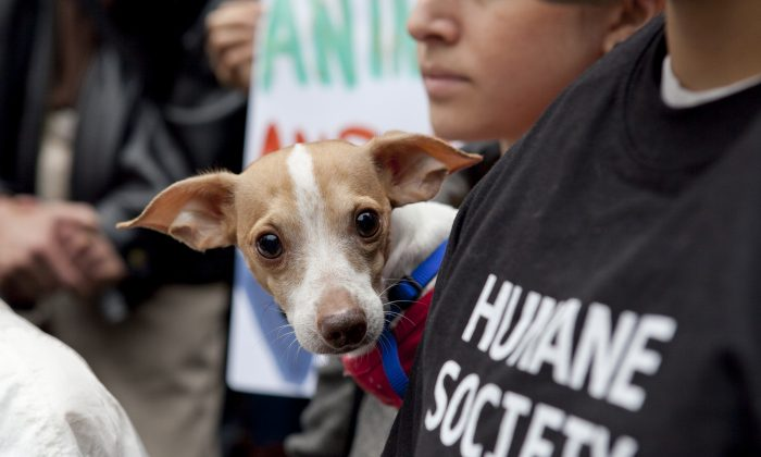 Bogart, a shelter dog at The Humane Society of New York, peeks out from the crowd during a rally to call for an end of puppy mills on the steps of City Hall, New York, Nov. 1, 2013. (Samira Bouaou/Epoch Times)