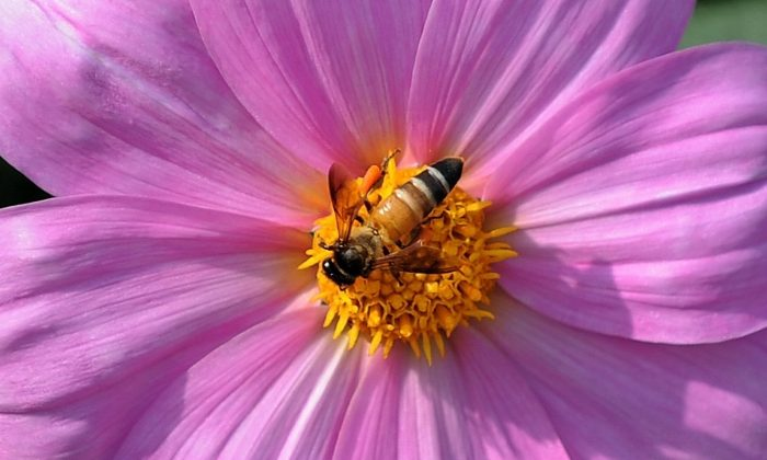 Myth Busters: Will Bees Become Extinct? How Will Food Be Affected?