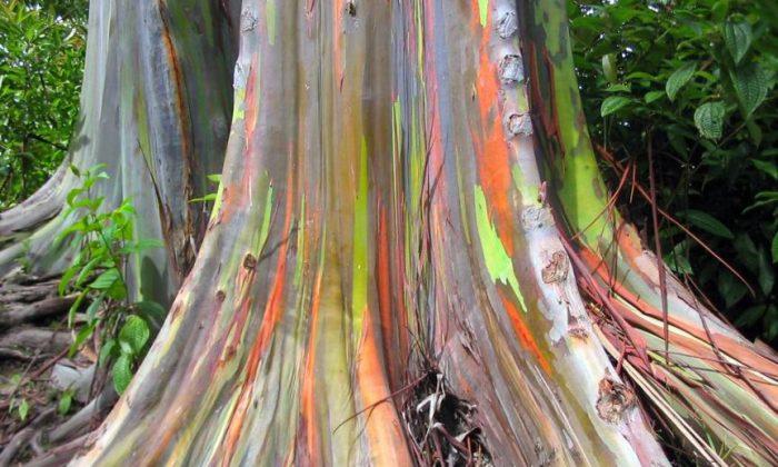 3 Strange Types of Eucalyptus Tree: Rainbow, 'Widow Maker,' Scribbly