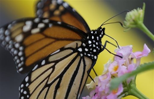 Experts Believe Fewer Monarchs through South Texas