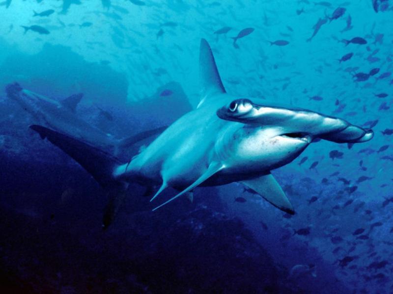 New Hammerhead Shark Discovered Off South Carolina Coast