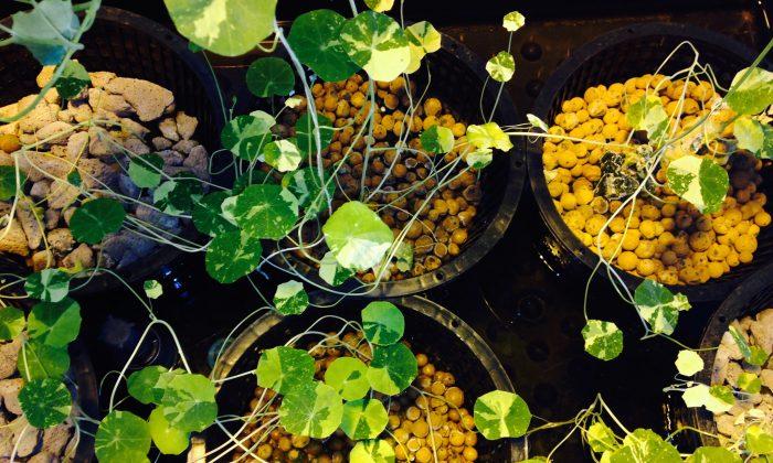 Nasturtium Alaska Mix plants grow at the hydroponic urban farm in PS 84's Green Room, Brooklyn, New York, Dec. 11, 2013. (A