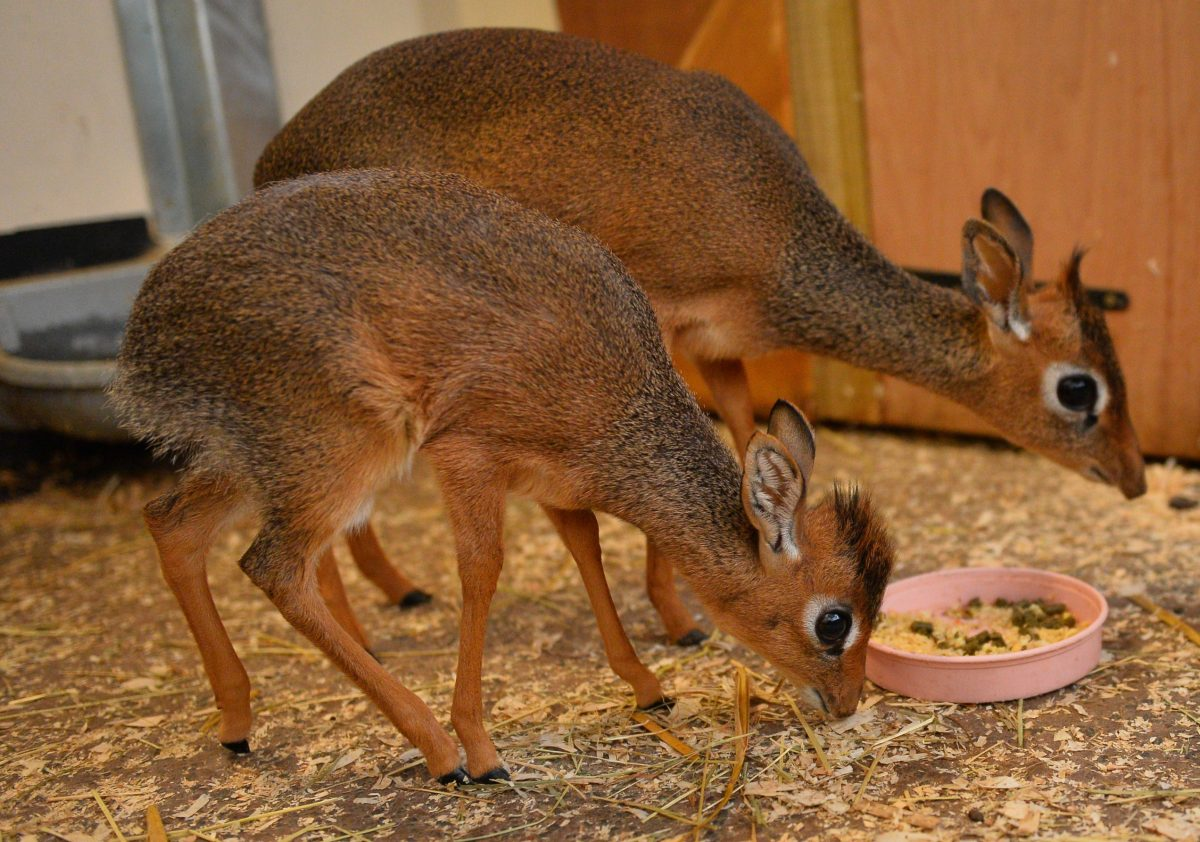 The Dik-diks family. (Chester Zoo)