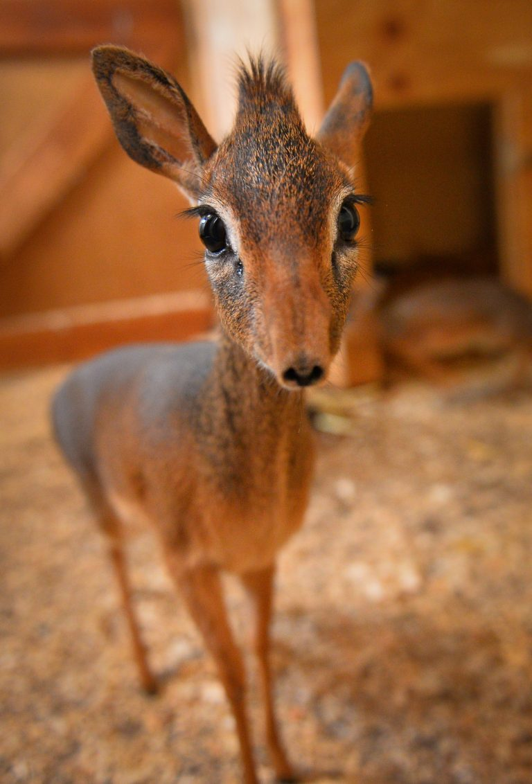 Neo the Dik-dik. (Chester Zoo)