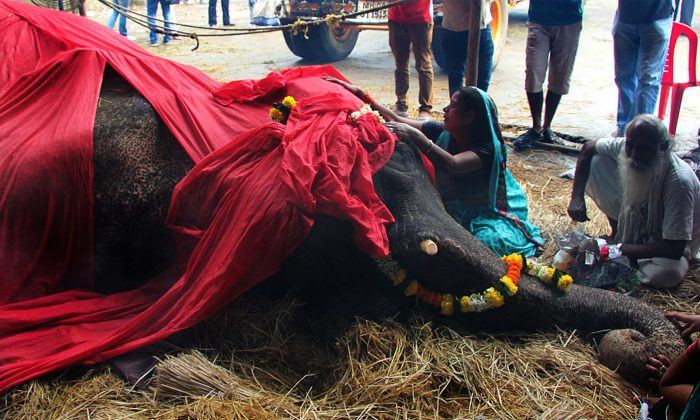 An Indian woman mourns alongside the body of Bijlee, a female elephant aged 58 and weighing five tonnes, during a ceremony inside the temporary shelter in Mumbai on June 30, 2013. Bijlee, an overworked and overweight Indian elephant, died after fighting for her life following a collapse in the street. The authorities subsequently banned the entry of Elephants in the city. (STR/AFP/Getty Images)