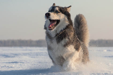 A husky runs in a Siberia snow field in winter. Siberian residents are amazed to see the ground without snow in the middle of winter this year—a phenomenon virtually unheard of in the region. (Shutterstock*)