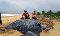 Leatherback Turtle Slips Toward Extinction