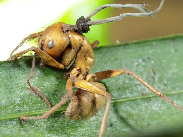Zombie Ants: Crowdfunding Website Launched for Research