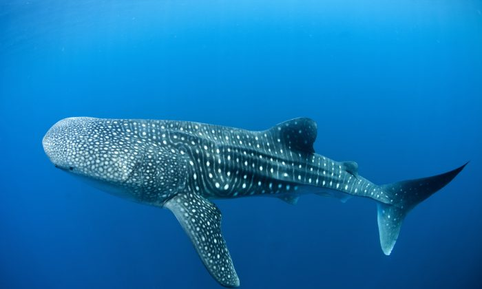 Whale sharks in Canderwasih Bay National Park, 15th May 2013, Papua, Indonesia. ( Photo: Paul Hilton /  Greenpeace)