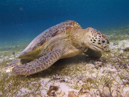 Endangered Turtles Face New Threat in Indonesia