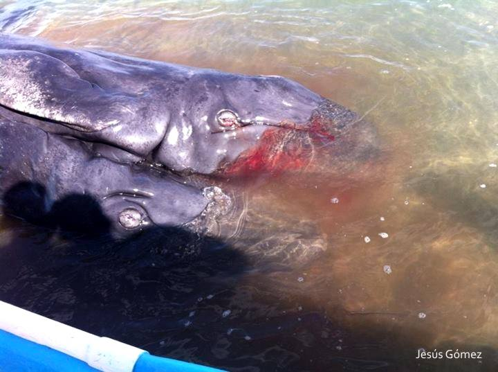 Baja California: 'Two-headed' Whale Found in Mexico (+Video, Photos)