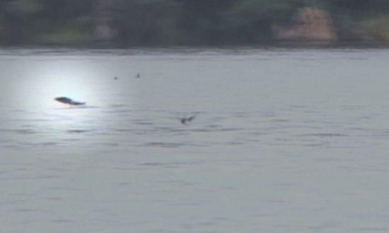 Tigerfish Catches Bird in Mid-Flight in Video: Watch it Here