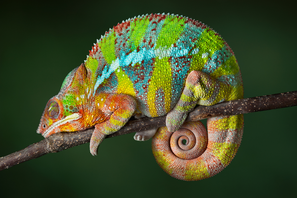 Colourful Language: Chameleons Talk Tough by Changing Shade