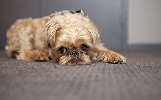 Umka, a Brussels Griffon, has grown bigger than the other dogs of her breed and suffers from several birth defects, which are likely the result of being the product of a puppy mill. (Samira Bouaou/Epoch Times)