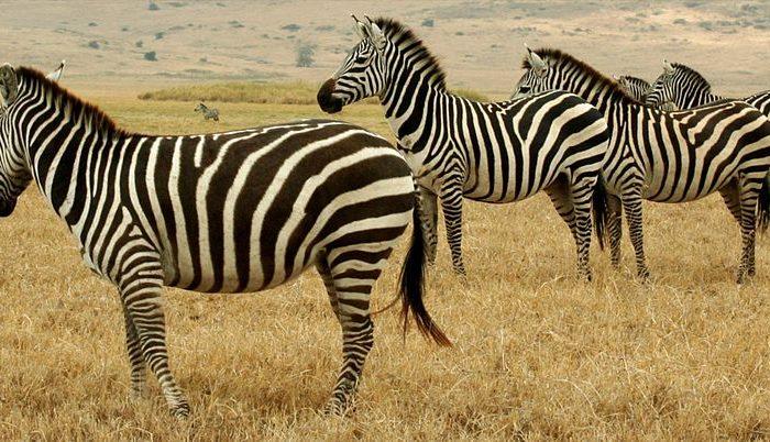 A line of zebras in Tanzania's Serengeti. (Eismcsquare/Wikimedia)