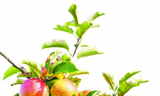 Get Rid of Gallstones Naturally With Apples