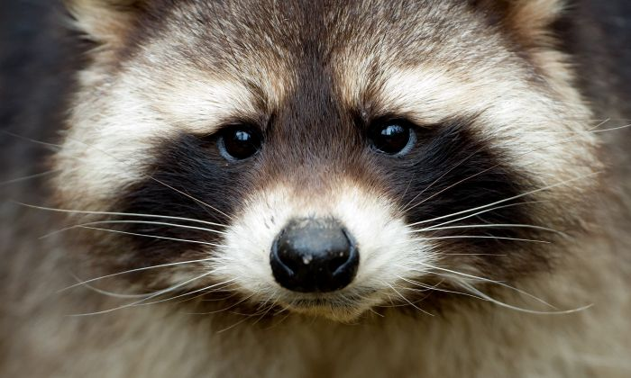 Raccoons look cute and cuddly but they can be an aggressive guest around homes. (Sven Hoppe/AFP/Getty Images)