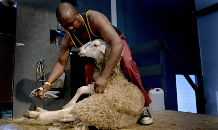 Zweliwile Hans of South Africa participates during the Golden Shears World Championship in Bjerkreim, Oct. 4, 2008. This year's competition is short 1,000 sheep and is asking Irish farmers for help. (Daniel Sannum-Lauten/AFP/Getty Images)