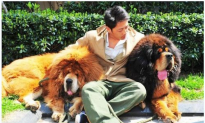Tibetan Mastiff Sells for Nearly $2 Million in China