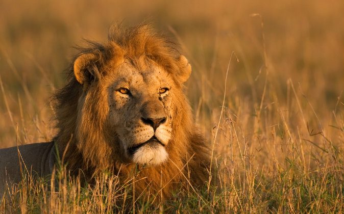 Some Nigerians are using lion urine for medicinal purposes. (Shutterstock*)