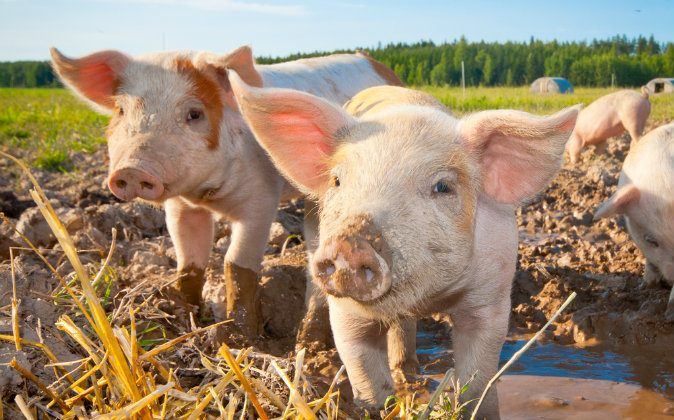 """What does the German idiom """"having a pig"""" mean? Deutsche Welle put together a list of its 10 favorite German idioms. (Shutterstock*)"""