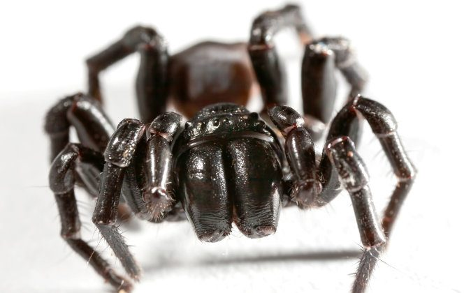 Sydney funnel-web spider. (Shutterstock)