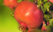 The Powerful Health Benefits of the Pomegranate