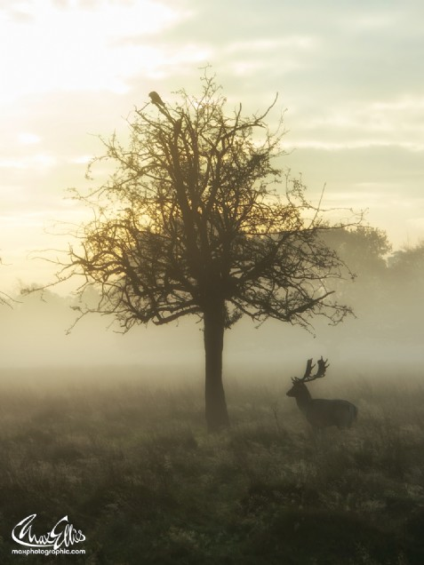 Hawthorn Stag (Max Ellis)