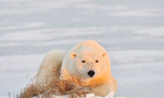 Canada's Trade in Polar Bear Skins Triggers Review by International Body