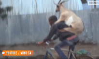 Video of Goat Riding on Back of Bicyclist Goes Viral (Video)