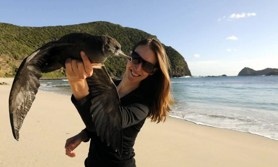 Dr Jennifer Lavers with a flesh-footed shearwater on Lord Howe Island, 2014. Her molecular research has identified the pervasive nature of plastic which does not break down naturally in oceans but increases in toxicity, impacting marine and bird life in unseen and dangerous ways. (Silke Stuckenbrock)