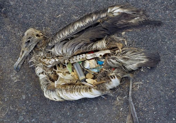 The unaltered stomach contents of a dead albatross chick photographed on Midway Atoll National Wildlife Refuge in the Pacific in September 2009 include plastic marine debris fed the chick by its parents. (Courtesy of the US Fish and Wildlife Service)