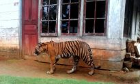 Deforestation Drives Tigers Into Contact With Humans