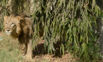 India Railways Protect Asiatic Lions on the Tracks