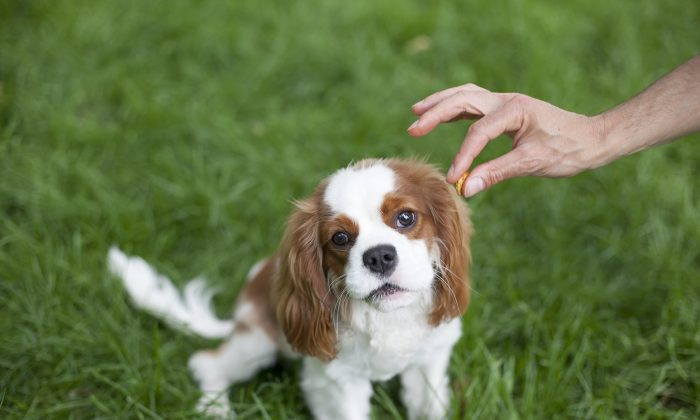 A dog called Ivy, is being fed a treat at Washington Square Park in Manhattan, on June 4, 2014 (Samira Bouaou/Epoch Times)