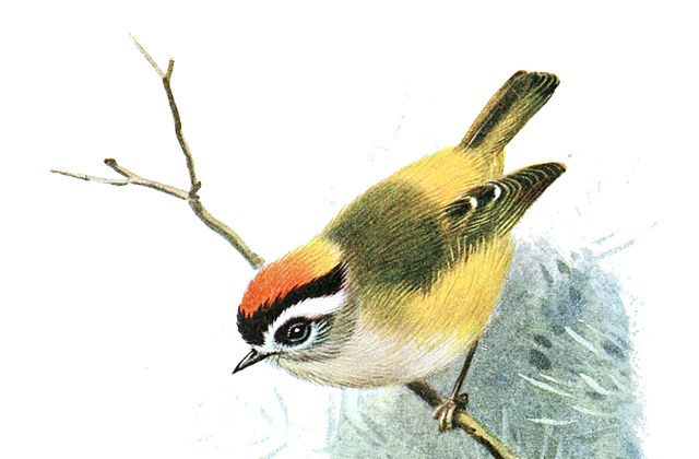 Flamecrest songbird. One of many species of songbird found in the Himalayas (photo from www.wikipedia.org)