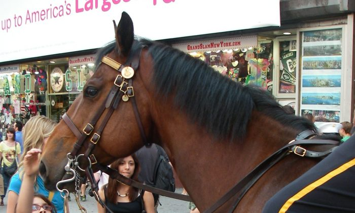 A child pets a NYPD police horse in Times Square during Memorial Day weekend 2011. (Vincent J. Bove)