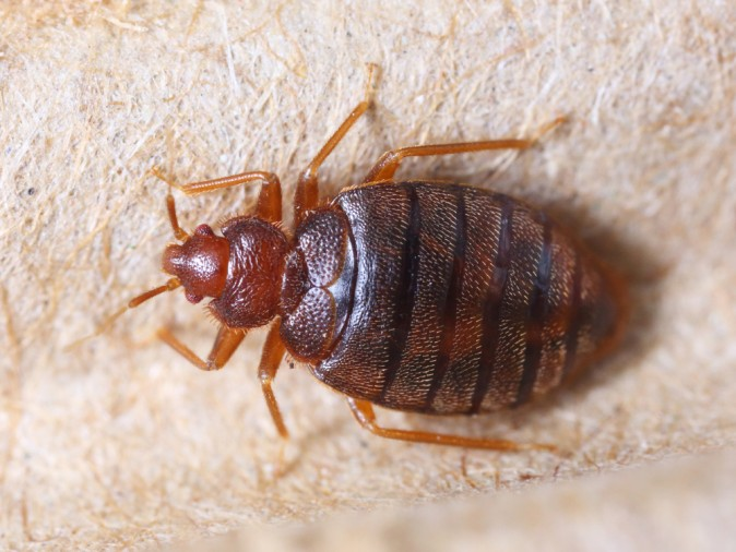 How to Check for Bedbugs