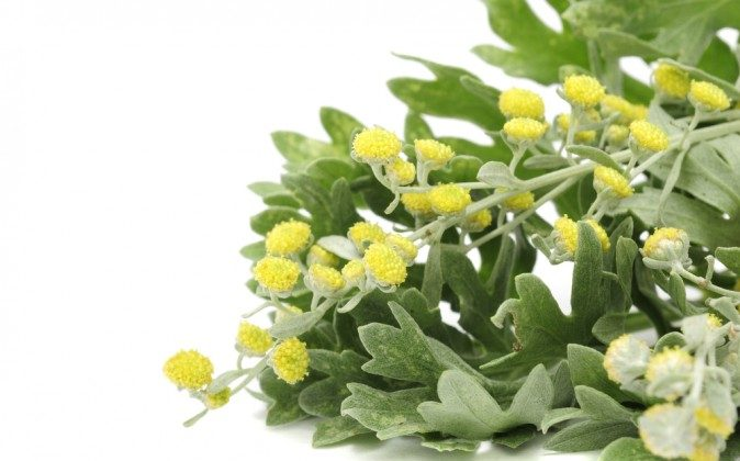 Wormwood has a refreshing scent and an intensely bitter taste. (Shutterstock*)