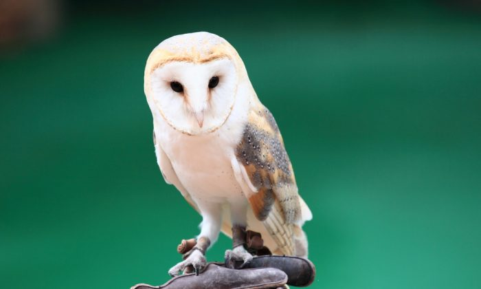 Beautiful white owl. (Shutterstock*)