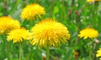Milk Thistle Heals and Protects the Liver and Acts as Poison Antidote