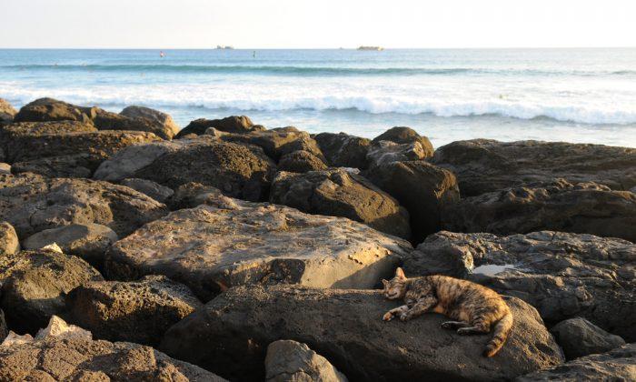 Cat sunning on rocks by the ocean in Oahu, Hawaii. (*Shutterstock)