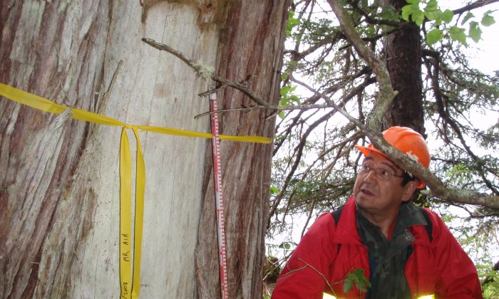 A Heiltsuk forestry worker holds a scale beside a rectangular bark-strip on a culturally modified tree near Doc Creek, B.C. The Heiltsuk Nation is part of a project that will improve the understanding and management of CMTs, an important pre- and post-contact heritage feature on B.C.'s Pacific Coast. (Courtesy of Morley Eldridge)